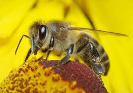 Из чего пчёлы делают прополис?