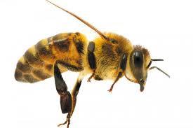 Улучшение пчел