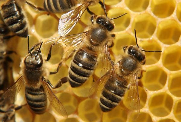 Пчелопакет