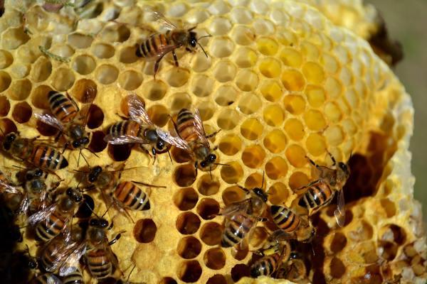 Наследственность пчелиной семьи.Часть2